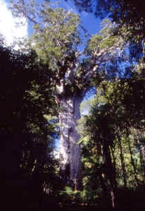 medium_web-nz-kauri.jpg