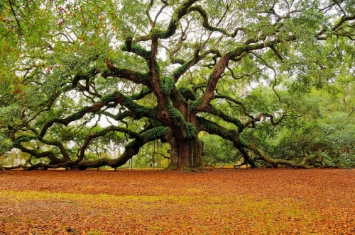 best-picture-gallery-angel-oak-south-carolina-MarkRegs-photo.jpeg